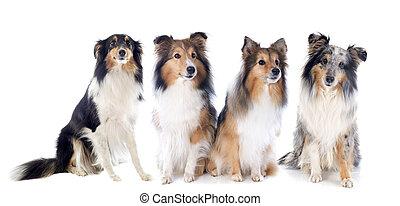 shetland, hunden