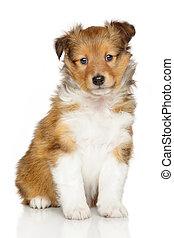 shetland, junger Hund, schäferhund