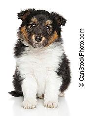 shetland, junger Hund