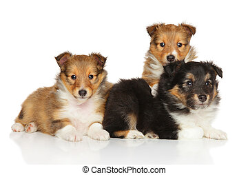 shetland,  liter, schäferhund