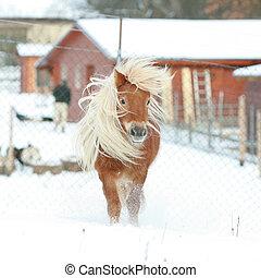 shetland pony, winter, langer, mähne, prächtig