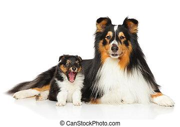 shetland, schäferhund, familie