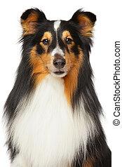 shetland, schäferhund, Porträt