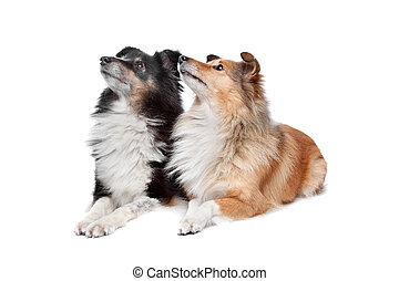shetland, schäferhund,  sheltie