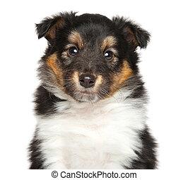shetland, schäferhund