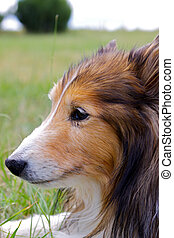 Shetland Sheep Dog Portrait