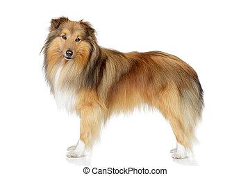 shetland sheepdog, auf, a, weißer hintergrund
