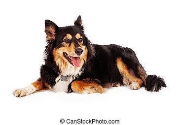 shetland sheepdog, berger, mélange