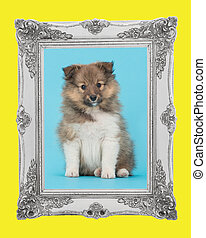 Shetland sheepdog, cute sheltie puppy dog sitting on a blue background facing the camera with a baroque silver picture frame and a yellow border