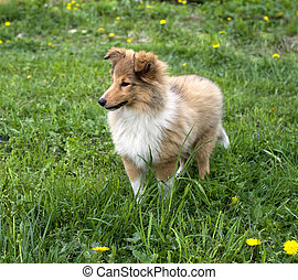 shetland sheepdog, draußen