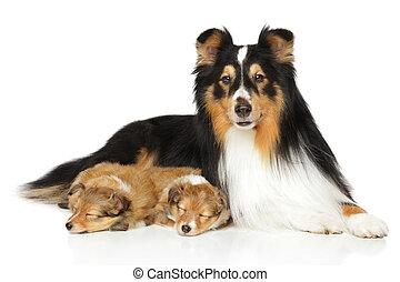 shetland sheepdog, familie