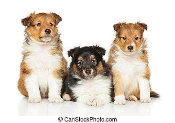 shetland sheepdog, hundebabys, weiß