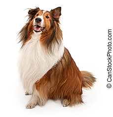 Shetland Sheepdog Isolated on White - Tan and white Shetland...