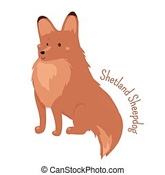 Shetland Sheepdog isolated. Sheltie. Rough Collie. Breed of...