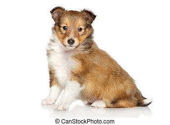 shetland sheepdog, junger hund