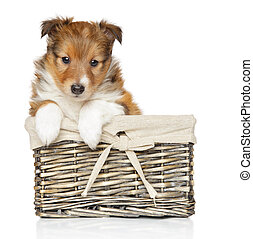 shetland sheepdog, junger hund, in, korb