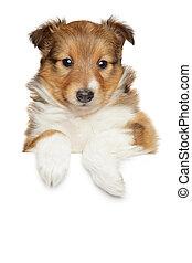 shetland sheepdog, junger hund, oben, banner