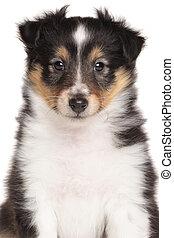 shetland sheepdog, junger hund, porträt