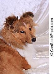 Shetland Sheepdog look back - shetland sheepdog look back