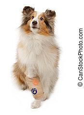 shetland sheepdog, mit, verletzt, bein