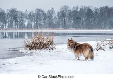 Shetland sheepdog or sheltie standing in a snow landscape with a lake and trees