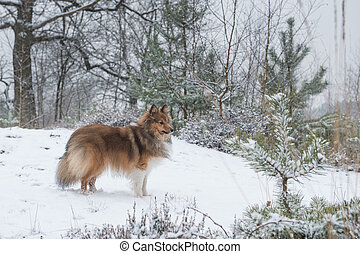 Shetland sheepdog or sheltie standing seen from the side in a snow forest landscape with pine trees