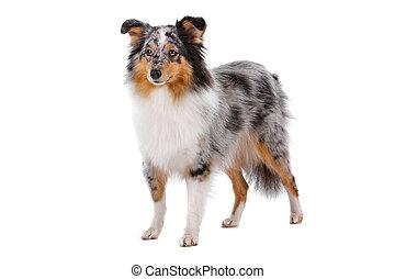 Shetland Sheepdog or sheltie