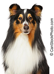 shetland sheepdog, porträt