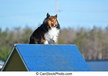 Shetland Sheepdog (Sheltie) at Dog Agility Trial - Tricolor...