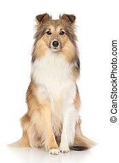 shetland sheepdog, weiß, hintergrund