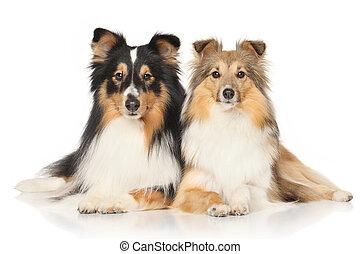 shetland sheepdogs, weiß, hintergrund