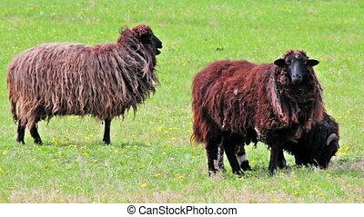 Shetland Sheeps grazing in the meadow