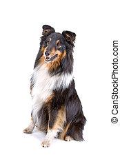 shetland, (sheltie), schäferhund