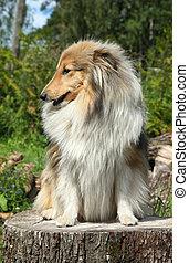 shetland, Stumpf, schäferhund, baum