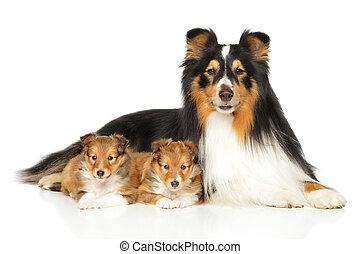 shetland, Vater, schäferhund, hundebabys