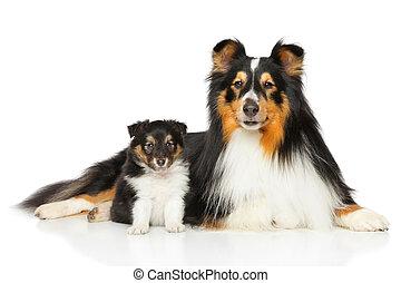 shetland, Vater, schäferhund, Sohn