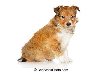 shetland, weißes, junger Hund, schäferhund