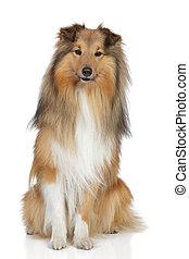 shetland, weißes, schäferhund, hintergrund