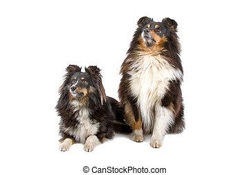 shetland, zwei, sheepdogs