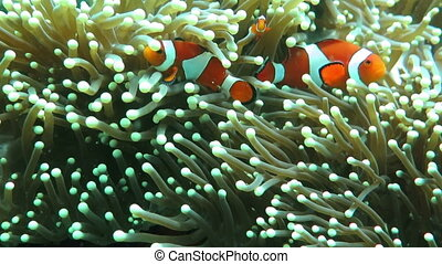 Shi clown-fish hiding between tentacles of anemone Common...
