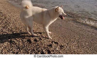 shiba, милый, гулять пешком, медленный, inu, вверх, собака, sniffing, песок, закрыть, белый, утро, пляж, движение, вниз, посмотреть