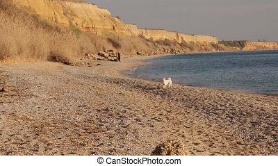 shiba, eau, lent, inu, chien, mouvement, courant, devant, blanc, heureux, plage, jouer, levers de soleil, vue