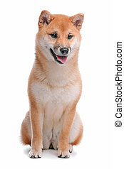 Shiba Inu dog in front of a white background - Japanese ...
