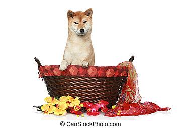 Shiba inu puppy in wattled basket