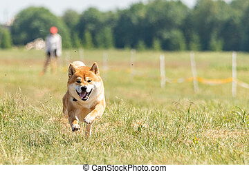 shiba inu running lure coursing competition on green field