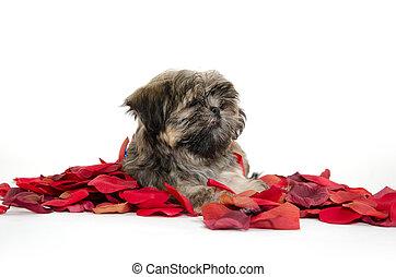 shih tzu, štěně, s, růový okvětní lístek