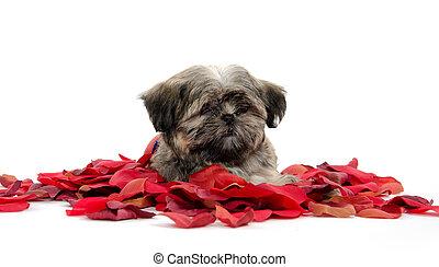 shih tzu, 강아지, 와, 장미의 꽃잎