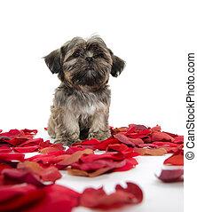 shih tzu, cucciolo, con, petali rose