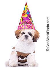 shih tzu, cucciolo, il portare, uno, cappello festa