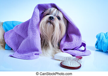 Shih tzu dog after washing. With bathrobe, towels and comb....